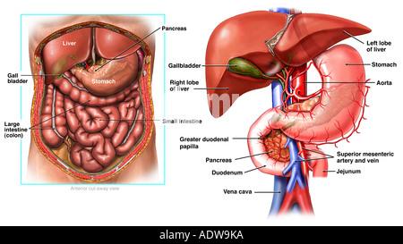 Anatomie der Leber, Gallenblase und Gallenwege System Stockfoto ...