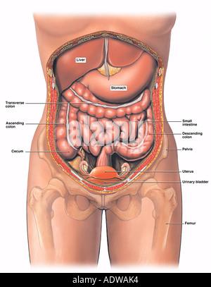 Anatomie des weiblichen Bauch und Becken Stockfoto, Bild: 7712947 ...