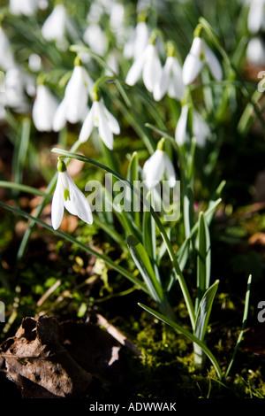 Schneeglöckchen in Oxfordshire Wald England United Kingdom - Stockfoto