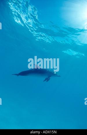 Spotted Dolphin Stenella Frontalis Atlantik Karibik-Bahamas - Stockfoto
