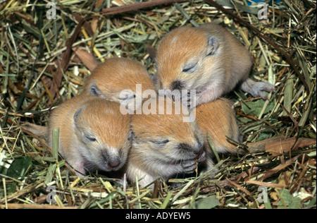 Krallen gehalten (Meriones Unguiculatus), Rennmäuse, Mongolische Rennmaus, Jungvögel im Nest, Deutschland, Baden - Stockfoto