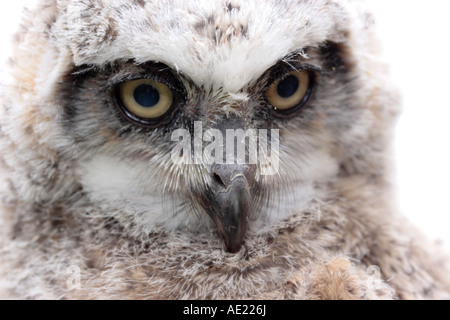 Great Horned Owl Küken, Bubo virginianus - Stockfoto