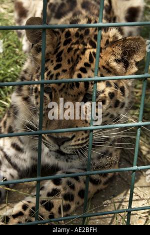 Amur-Leopard, Wildlife Heritage Foundation, Kent, UK - Stockfoto