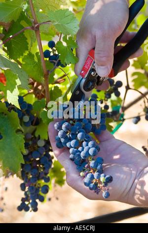Mann mit einem Clipping Tool Trauben aus einem Weinberg bei der Ernte schneiden zu Wein Corralitos California - Stockfoto