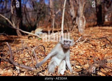 Vervet Affen unter gefallenen Laub in Simbabwe - Stockfoto