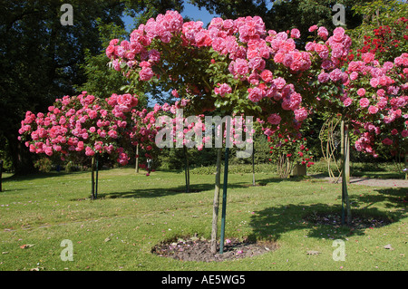 stieg garten nord rhein westfalen deutschland rosa spec rosenbogen mit kletterrosen im. Black Bedroom Furniture Sets. Home Design Ideas