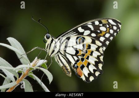Kalk-Schwalbenschwanz (Papilio Demoleus) - Stockfoto