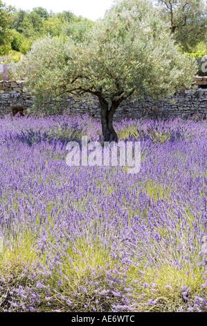Olivenbaum in einem Lavendelfeld in der Provence - Stockfoto