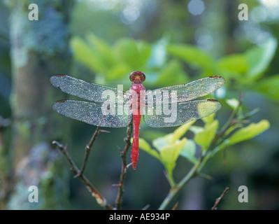 Eine riesige rote Darner oder Dragonfly in einem dichten Regenwald Baldachin in Corcovado Nationalpark Costa Rica - Stockfoto