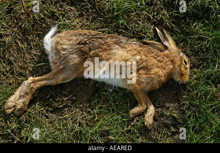 Toten Hasen in einem Feld-Oxfordshire-England - Stockfoto