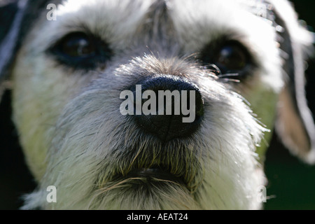 Border Terrier Hund hautnah mit grauen Schnauze - Stockfoto