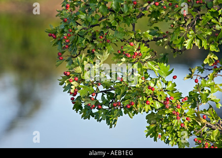 Weißdorn, Crataegus monogyna - Stockfoto