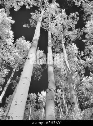 Blick zum Hain der Herbst farbige Espe Bäume San Juan Mountains Colorado - Stockfoto