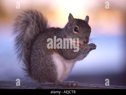 eine östliche Grauhörnchen in Florida Essen eine Nuss - Stockfoto