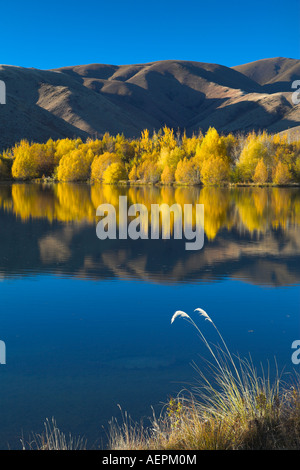 Intensive goldenes Laub an einem See in der Nähe von Twizel, Südinsel, Neuseeland - Stockfoto
