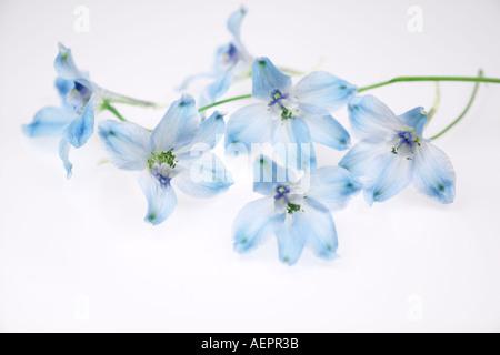 Nahaufnahme von Delphinium Blume - Stockfoto