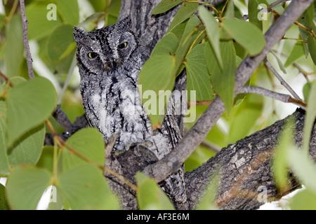 Afrikanische Zwergohreule Eule (Otus Senegalensis), sitzt auf einem Baum, Namibia, Etosha NP - Stockfoto