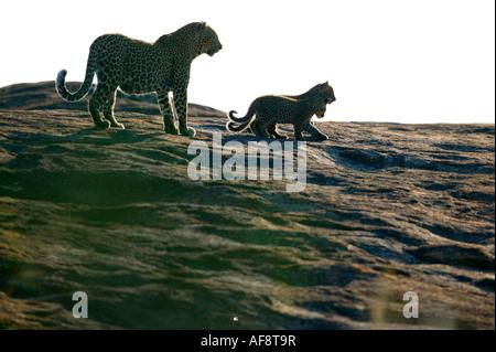 Leopard (Panthera Pardus) mit zwei jungen auf einem offenen Granitblock Sabi Sand Game Reserve, Mpumalanga; Südafrika - Stockfoto