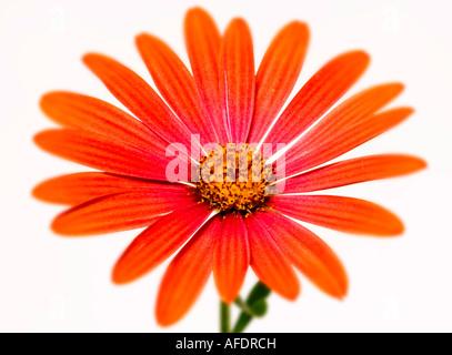 Osteospermum orange Gänseblümchen weißen Hintergrund - Stockfoto