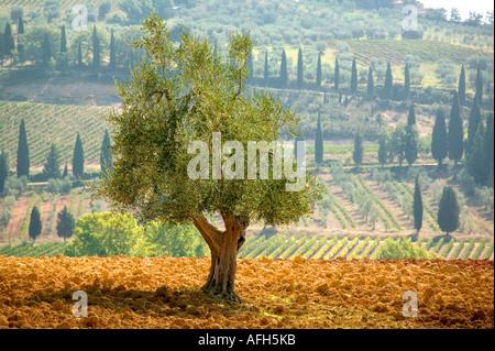 Olive Tree mit Zypressen und Felder im Hintergrund, Toskana, Italien - Stockfoto