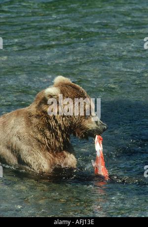 Braune oder grizzly Bär von Lachs ernähren Katmai NP - Stockfoto