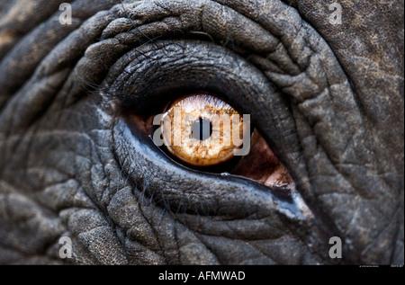 Nahaufnahme des Auges eines indischen Elefanten Jaipur Indien - Stockfoto