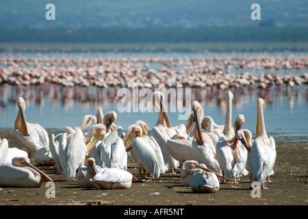 Weiße Pelikane Pflege und putzen sich am Ufer des Lake Nakuru Lake Nakuru National Park-Kenia - Stockfoto