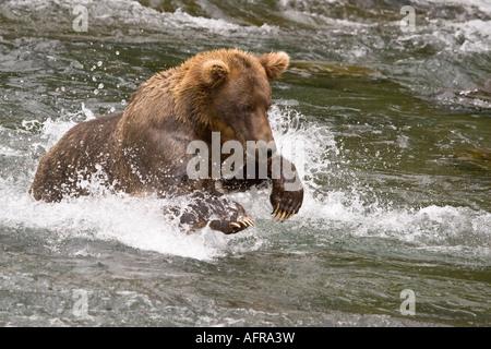 Bär, stürzen sich auf Lachs bei Brooks Falls Alaska - Stockfoto