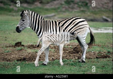 Zoologie / Tiere, Säugetier / Säugetier, Equiden, Ebenen Zebra (Equus Quagga), stillende Fohlen, Verbreitung: Afrika, - Stockfoto