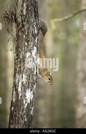 Zoologie/Tiere, Säugetiere, Säugetier/Sciuridae, Ost Grauhörnchen (Sciurus carolinensis), sitzen auf den Trunk, - Stockfoto
