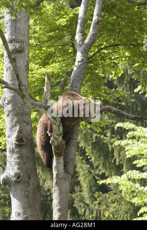 Zoologie/Tiere, Säugetiere, Säugetier/Ursidae, Braunbär (Ursus arctos), Cub klettern auf Baum, Nationalpark, Bayerischer - Stockfoto