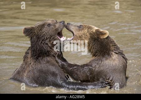 Zoologie, Säugetiere, Säugetier/Ursidae, Braunbär (Ursus arctos), zwei Tiere im Wasser, Nationalpark, Bayerischer - Stockfoto