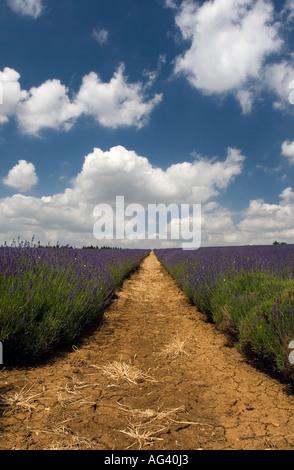 Lavendel Feld Zeilen gegen blauen Wolkenhimmel Snowshill Farm, Cotswolds, Gloucestershire, England - Stockfoto