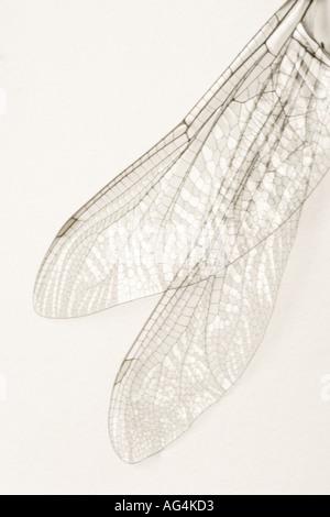 Nahaufnahme eines Paares von Libellenflügel auf neutralem Hintergrund - Stockfoto