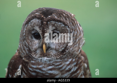 Verjähren in Owl (Strix baria) Kopf hoch, British Columbia, Kanada - Stockfoto
