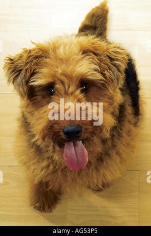 Welsh Terrier-Welpen - sitzen - Stockfoto
