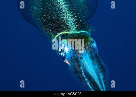 Nahaufnahme des Kopfes von squid - Stockfoto