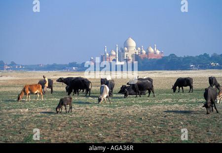 Indien, Agra, Mann hüten Kühe vor Taj Mahal - Stockfoto