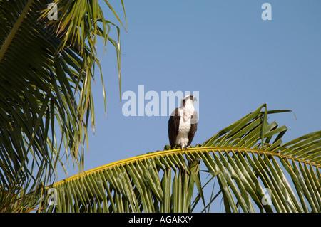 Fischadler Panadion Haliaetus in Palme in Bowditch Point Regional Park am Nordende, Fort Myers Beach am Golf von - Stockfoto