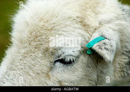 Eine Nahaufnahme von einem Schafe Auge - Stockfoto