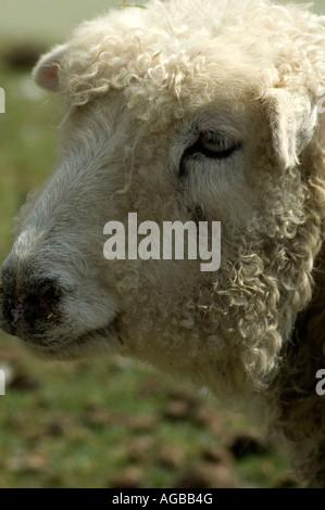 Ein Bild eines Sheeps Head - Stockfoto