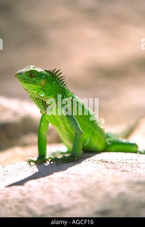 Ein grüner Leguan posiert für ein Foto in der schönen Insel Aruba - Stockfoto