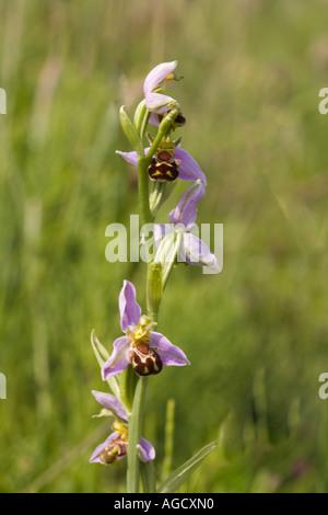 Biene Orchidee Ophrys Apifera wachsen an der Küste von Yorkshire UK - Stockfoto