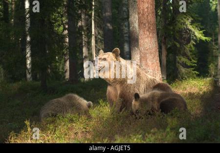 Braunbär Ursos Arctos Weibchen mit jungen Suomussalmi östlichen Finnland Fichte Wald August - Stockfoto