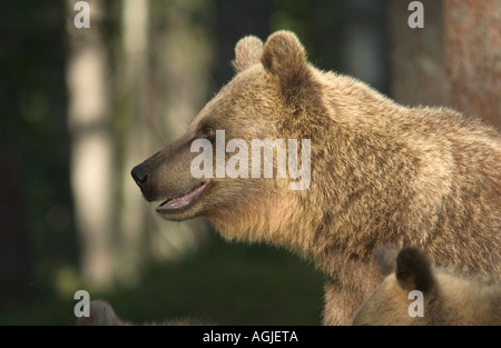 Braunbär Ursos Arctos weibliche Suomussalmi östlichen Finnland Fichte forest August - Stockfoto