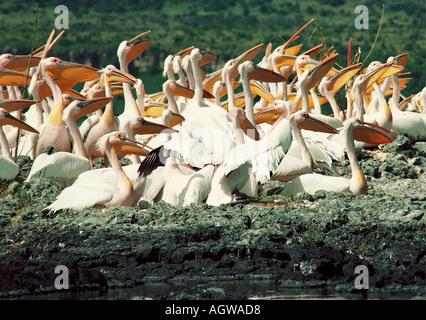 Weiße Pelikane sitzen auf den Eiern auf einer Insel im Lake Baringo in der Great Rift Valley Kenia in Ostafrika - Stockfoto