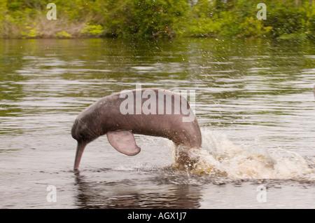 """Amazonas rosa Delfin (Inia Geoffrensis), im Amazonas ist bekannt als """"Boto Vermelho"""".  Fotografieren von Negro Fluss. - Stockfoto"""