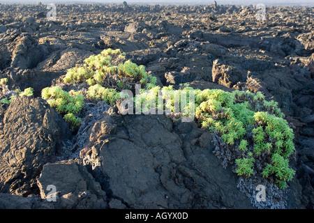 Strahlen geleitet Scalesia Scalesia Affinis Galapagos - Stockfoto