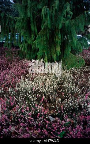 blumenbeet mit rosa und wei en heidekraut bl ten herbst. Black Bedroom Furniture Sets. Home Design Ideas