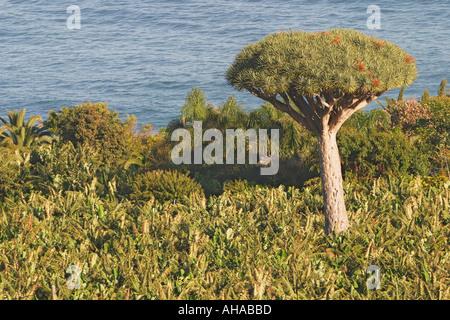 Drago Baum in Bananenplantage in der Nähe von Puerto De La Cruz-Teneriffa-Kanarische Inseln-Spanien - Stockfoto